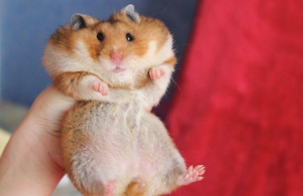 Suuria hamsteri kaalulangus 3 nadalat rasvapoleti ulevaateid
