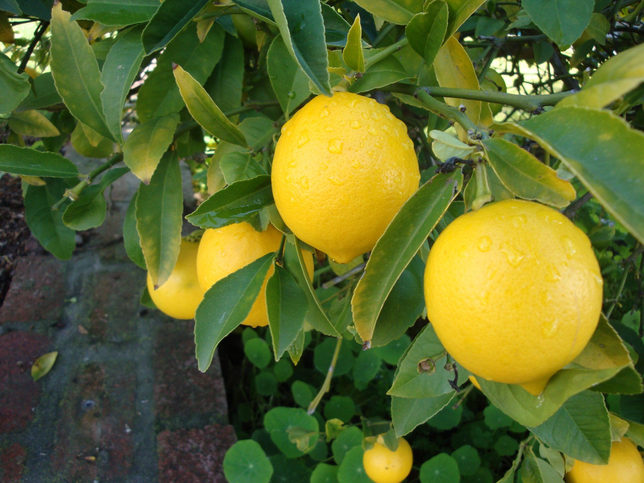 sidruni poletada rasva kiiresti Kaalulangus insultist
