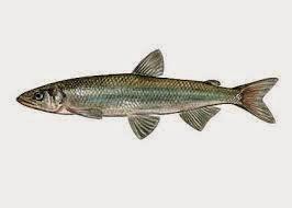 Kala poletada rasva