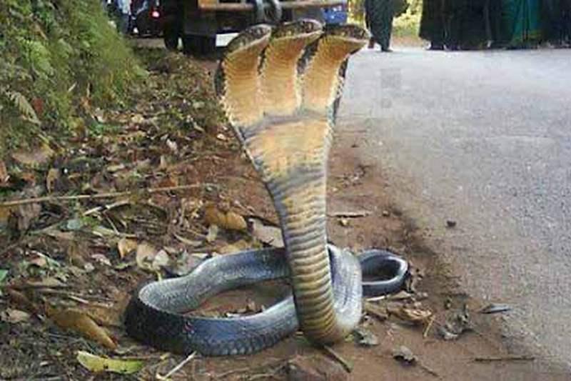 King Cobra rasva kadu agent
